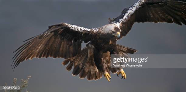 Spanish imperial eagle (Aquila adalberti)