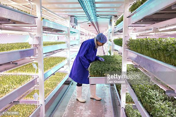 Spanish Intern Isabel checks Corriander plants in one of the Underground tunnels at 'Growing Underground' in Clapham on October 24 2016 in London...