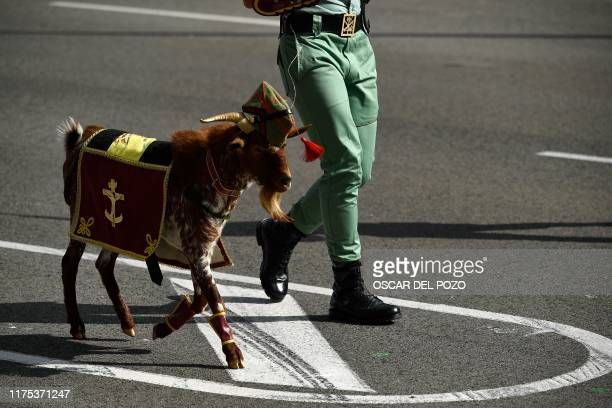 Spanish Legion's masco goat parades during the Spanish National Day military parade in Madrid on October 12, 2019.
