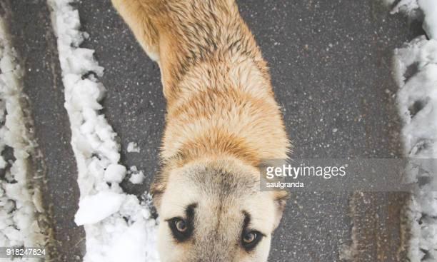 A spanish mastiff puppy looking at camera