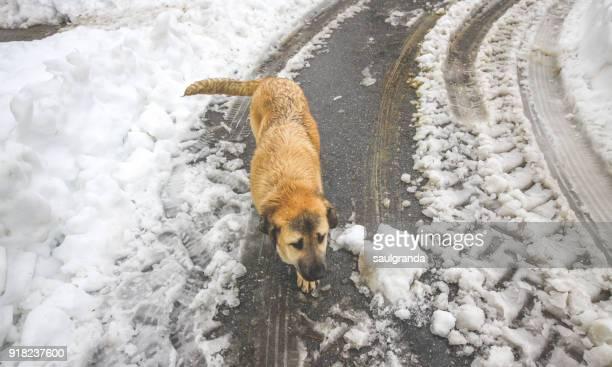 Spanish mastiff puppy walking on a snowy road