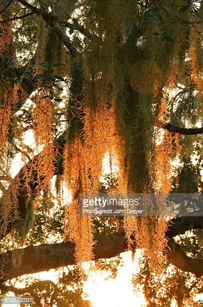 spanish moss at sunset - spanish moss stock pictures, royalty-free photos & images