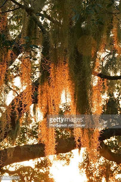 spanish moss at sunset - musgo español fotografías e imágenes de stock