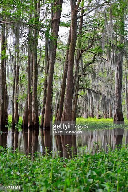 Spanish Moss, Bald Cypress, and invasive Hyacinth