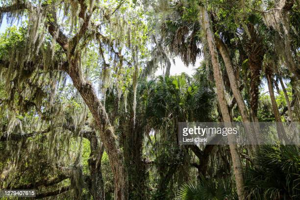 spanish moss hanging from trees in myakka river state park, sarasota, fl - florida us state stock pictures, royalty-free photos & images