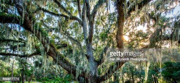 spanish moss in live oak trees at sunset in cemetery - live oak tree stock pictures, royalty-free photos & images