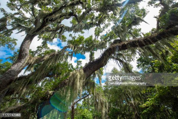 spanish moss in live oak trees - spanish moss stock pictures, royalty-free photos & images
