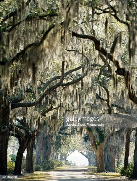 Spanish Moss in Savannah, Georgia