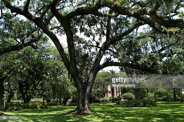 spanish moss on live oaks, southern mansion - live oak tree stock pictures, royalty-free photos & images