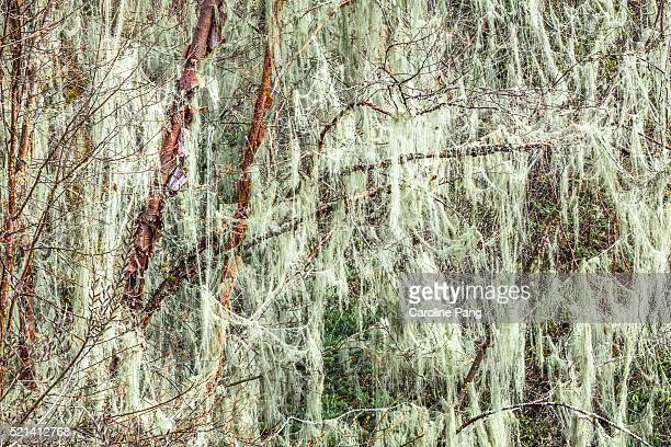 spanish moss - caroline pang stock pictures, royalty-free photos & images