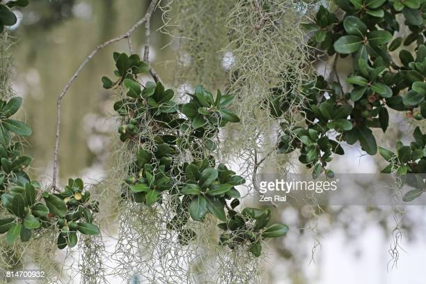 Spanish Moss - Tillandsia usneoides growing on Southern Live Oak tree (Quercus virginiana)