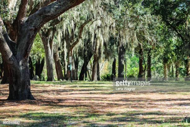 spanish moss tree forest - mimose foto e immagini stock