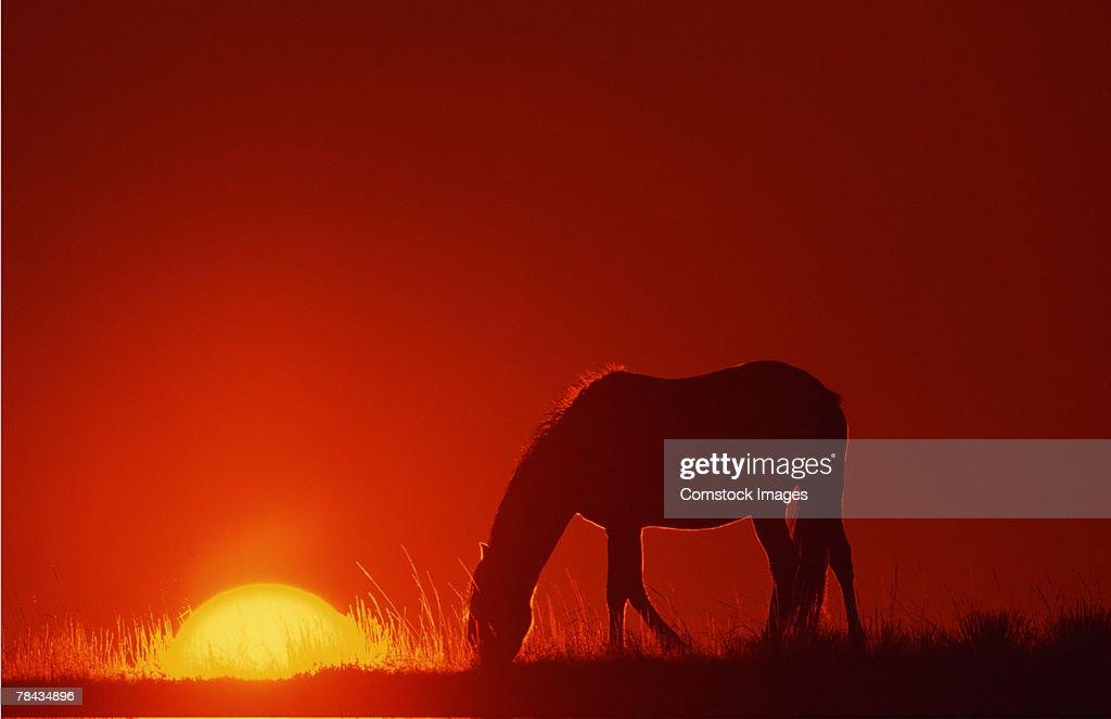 Spanish Mustang grazing at sunset , Wyoming : Stockfoto