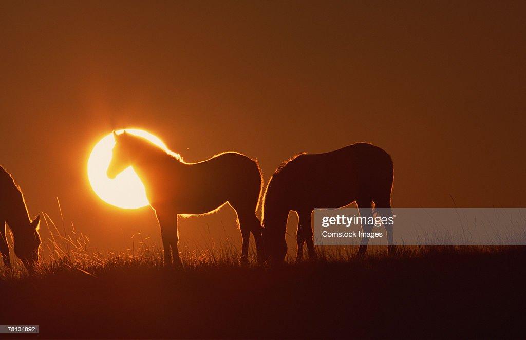 Spanish Mustangs at sunset , Wyoming : Stockfoto