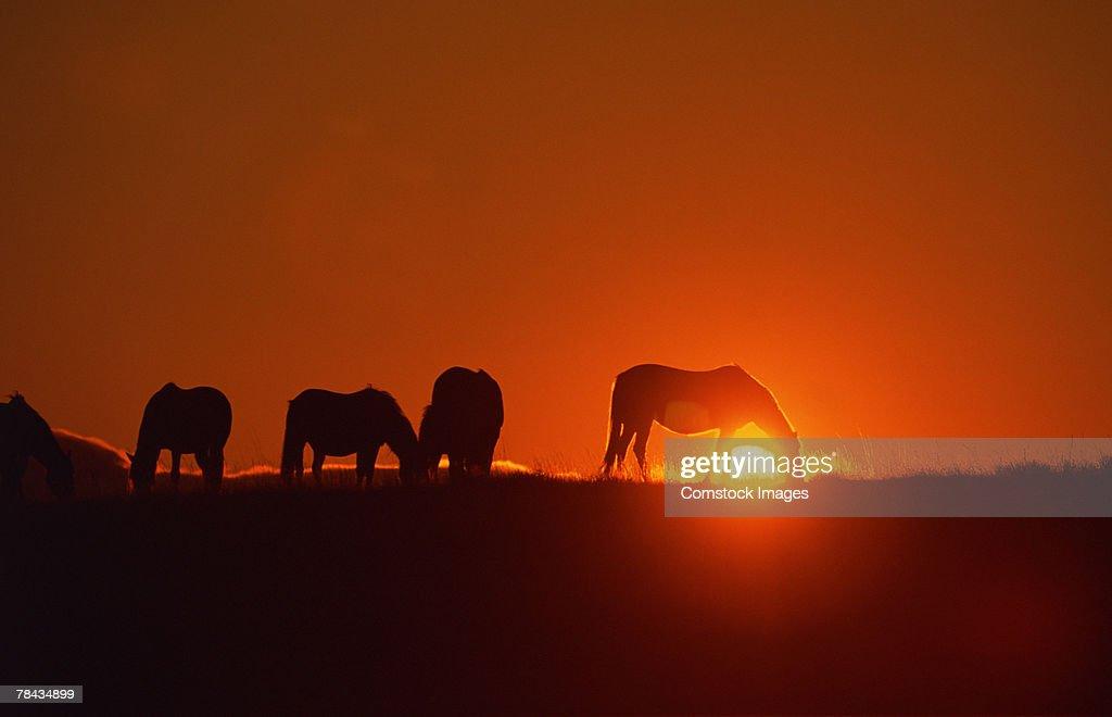 Spanish Mustangs grazing at sunset , Wyoming : Stockfoto