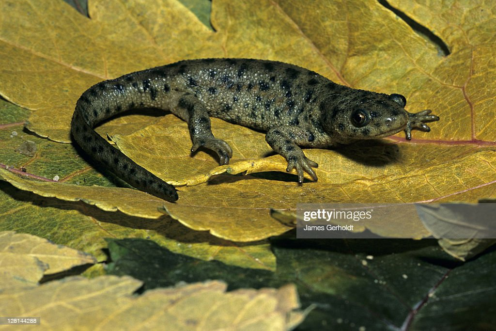 Spanish Ribbed Newt, Pleurodeles waltl, Spain and Morocco : Stock Photo