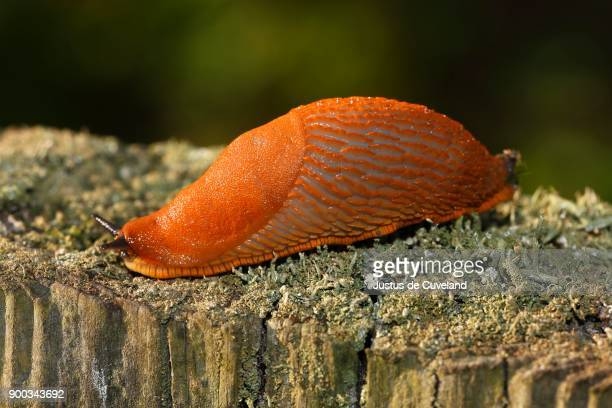 spanish slug (arion vulgaris) on mossy tree trunk, garden pest, schleswig-holstein, germany - schleswig holstein stock pictures, royalty-free photos & images
