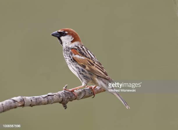 Spanish sparrow (Passer hispaniolenis)