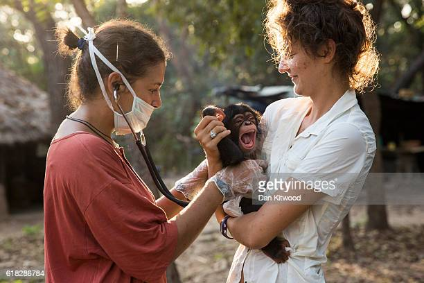 Spanish vetinary volunteer Camille Lemaire performs a health check on new arrival Kandar at the Chimpanzee Conservation Centre on November 28 2015 in...