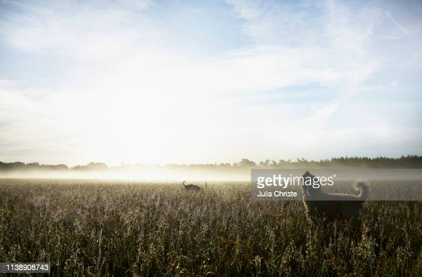 spanish water dog howling in sunny rural field at dawn - mecklenburg vorpommern stock pictures, royalty-free photos & images