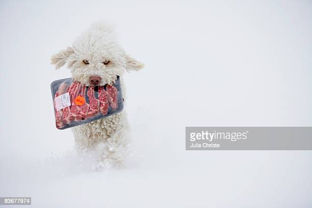 Spanish Water Dog running in snow with a package of meat in his mouth