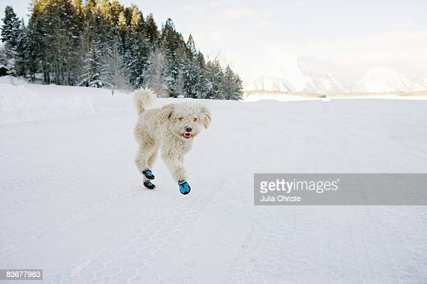 A Spanish Water Dog wearing booties and running through the snow