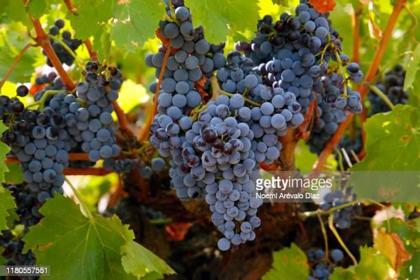 spanish wine - cabernet sauvignon grape stock pictures, royalty-free photos & images
