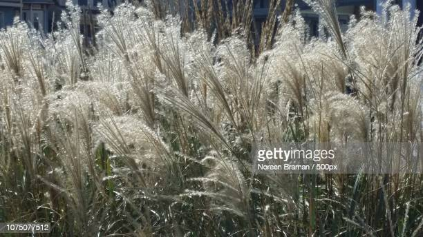 sparkling grasses - noreen braman stock pictures, royalty-free photos & images