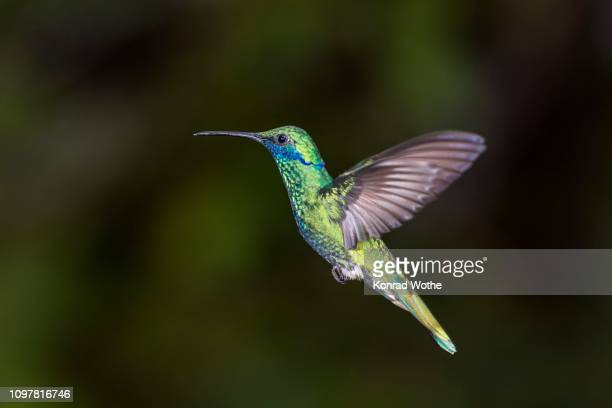 Sparkling violetear (Kolibri coruscans), flying, rainforest, cloud forest, northern Ecuador, Ecuador