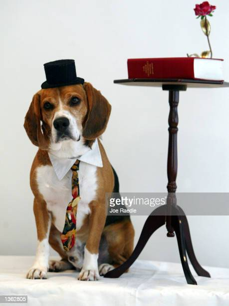 Sparky poses for a portrait in the Pet Star studio August 31 2002 in Miami Florida The idea of posing dogs for professional portraits is among the...