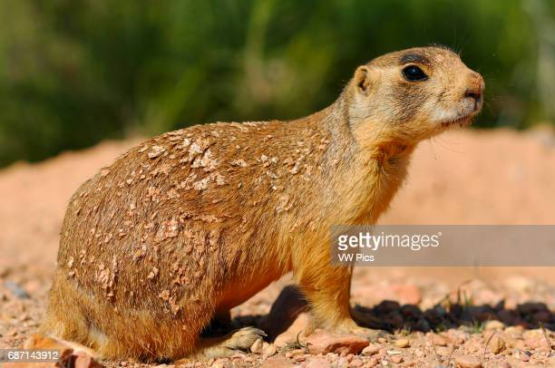 Sparky the Utah Prairie Dog, Cynomys parvidens, Red Canyon, Dixie National Forest, Utah.