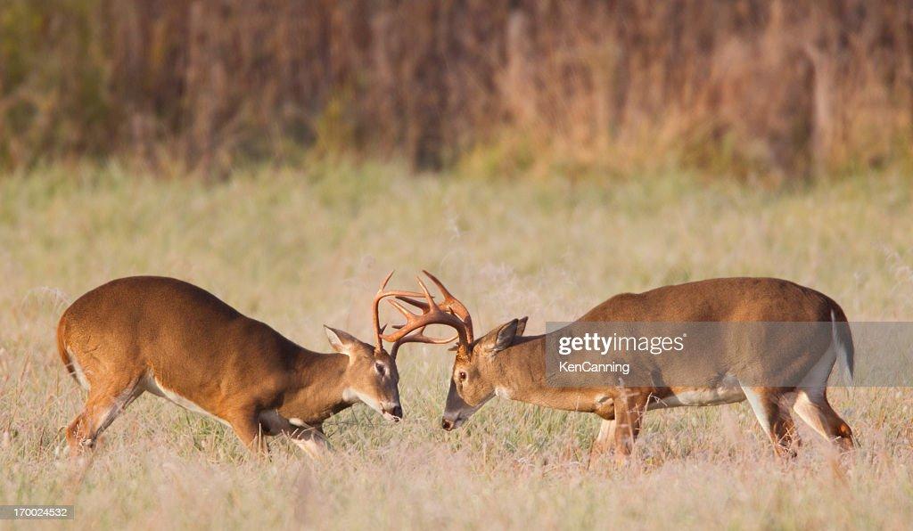 Sparring Deer : Stock Photo