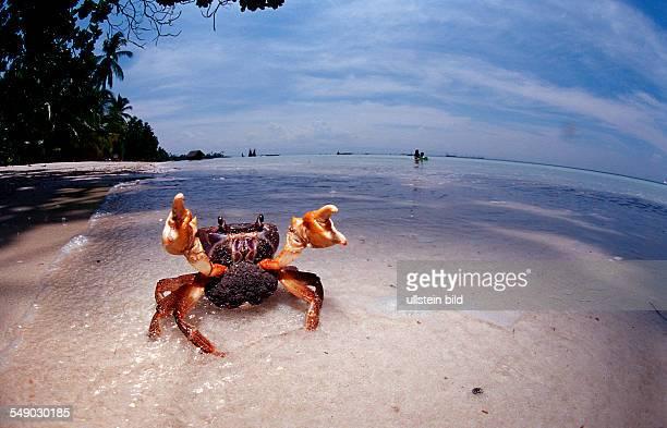 Sparring female crab with eggs Gecarcinidae Philippinen Bohol Sea Pacific Ocean Panglao Island Bohol