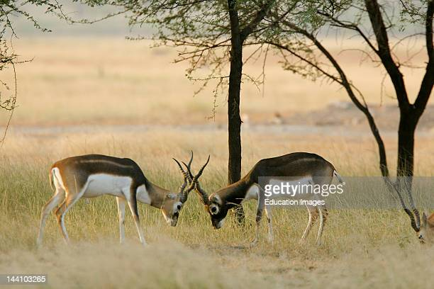 Sparring Male Blackbucks Antelope Cervicapra Talchapar Sanctuary Rajasthan India