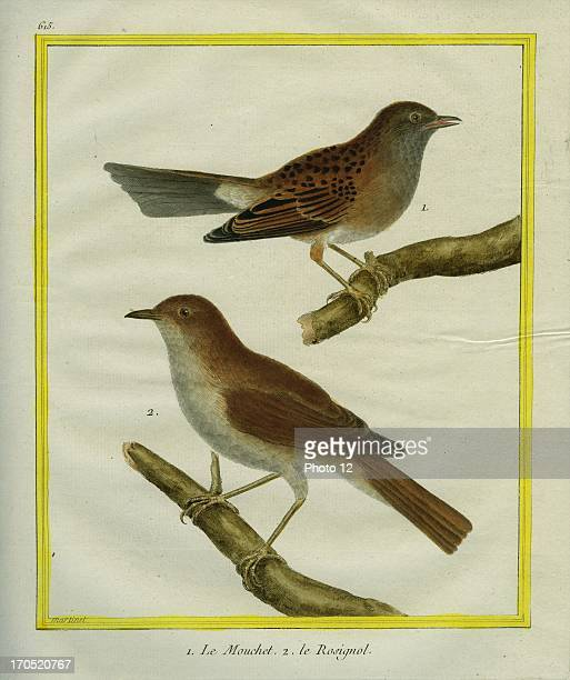 Sparrow and Common Nightingale Luscinia megarhynchos1 Sparrow2 Common NightingaleGeorgesLouis Leclerc Comte of Buffon Natural History of birds fish...