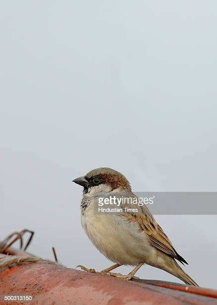 A sparrow basks under early morning fog near Yamuna riverside on December 7 2015 in New Delhi India The NCR experienced a cloudy weather with the...