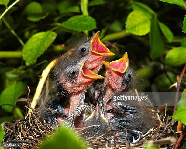 Sparrow chicks.