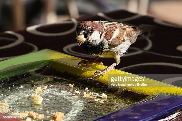 Sparrow Eating From Tray