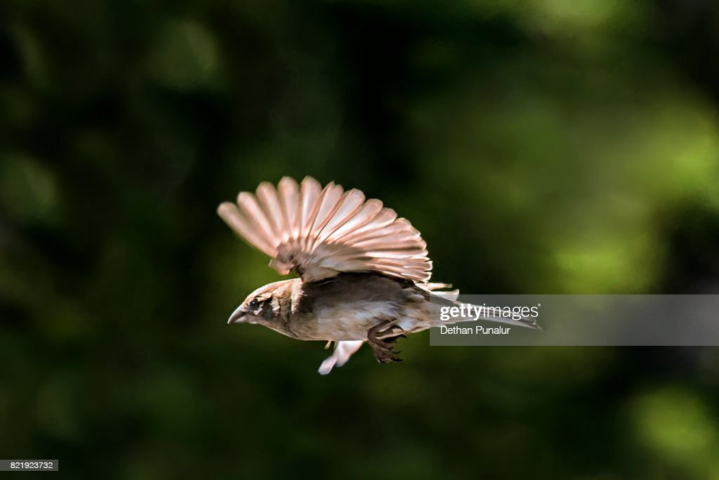 Sparrow Flight : Stock Photo
