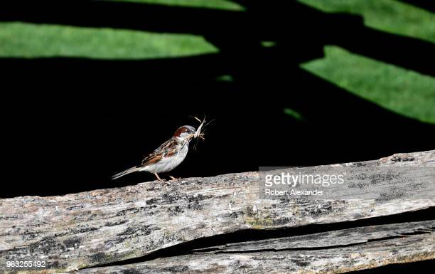 A sparrow gathering nesting materials lands on a split rail fence at Mount Vernon the plantation owned by George Washington the first President of...