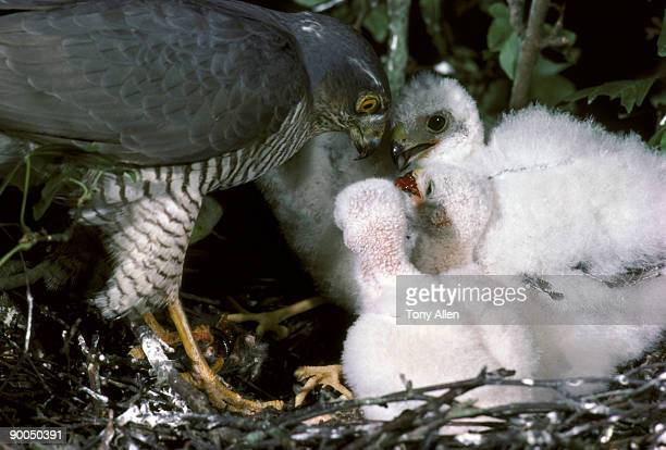sparrow hawk accipiter nisus female southern england - hawk nest foto e immagini stock