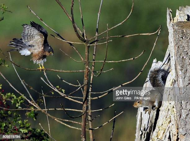 A sparrow hawk and a grey squirrel face each other after the hawk landed in a tree the squirrel nests in at Bolton Percy near York