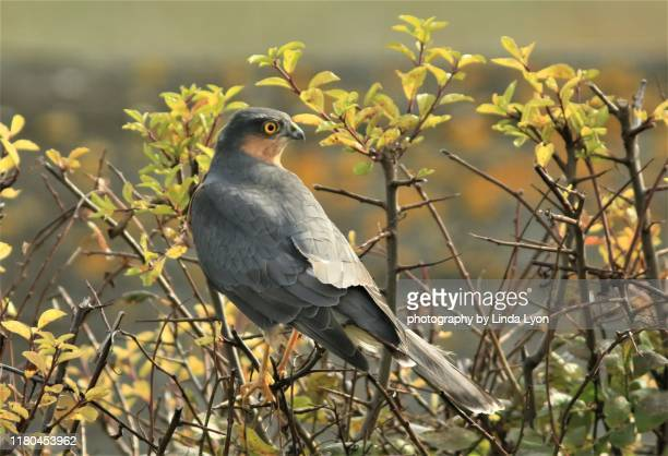 sparrow hawk on garden shrub - sparrow hawk stock pictures, royalty-free photos & images