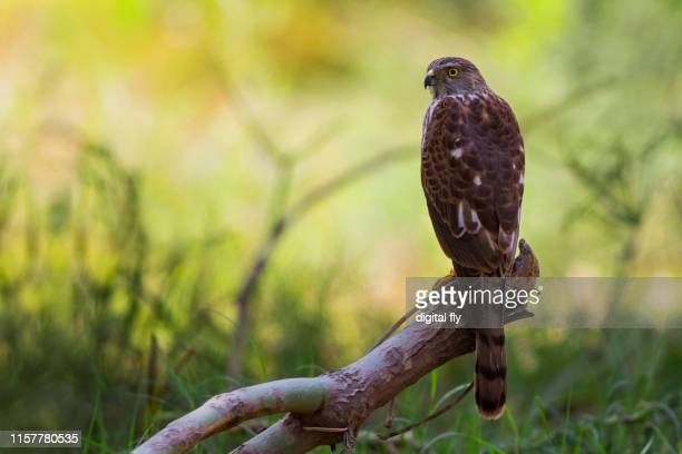 sparrow hawk - sparrow hawk stock pictures, royalty-free photos & images