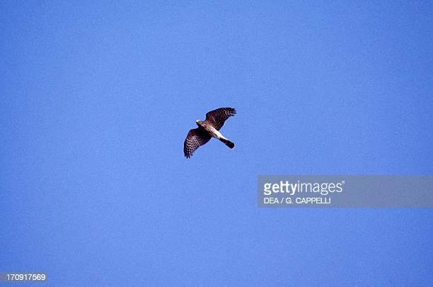 Sparrow hawks Point Pelee National Park Ontario Canada