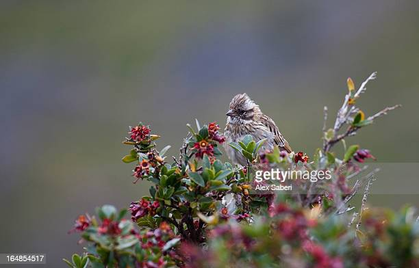 a sparrow in torres del paine national park. - alex saberi stock pictures, royalty-free photos & images