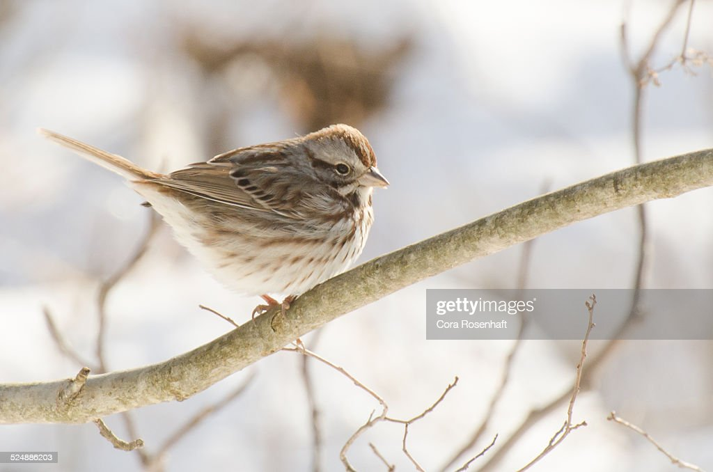 Sparrow in Winter : Stock Photo