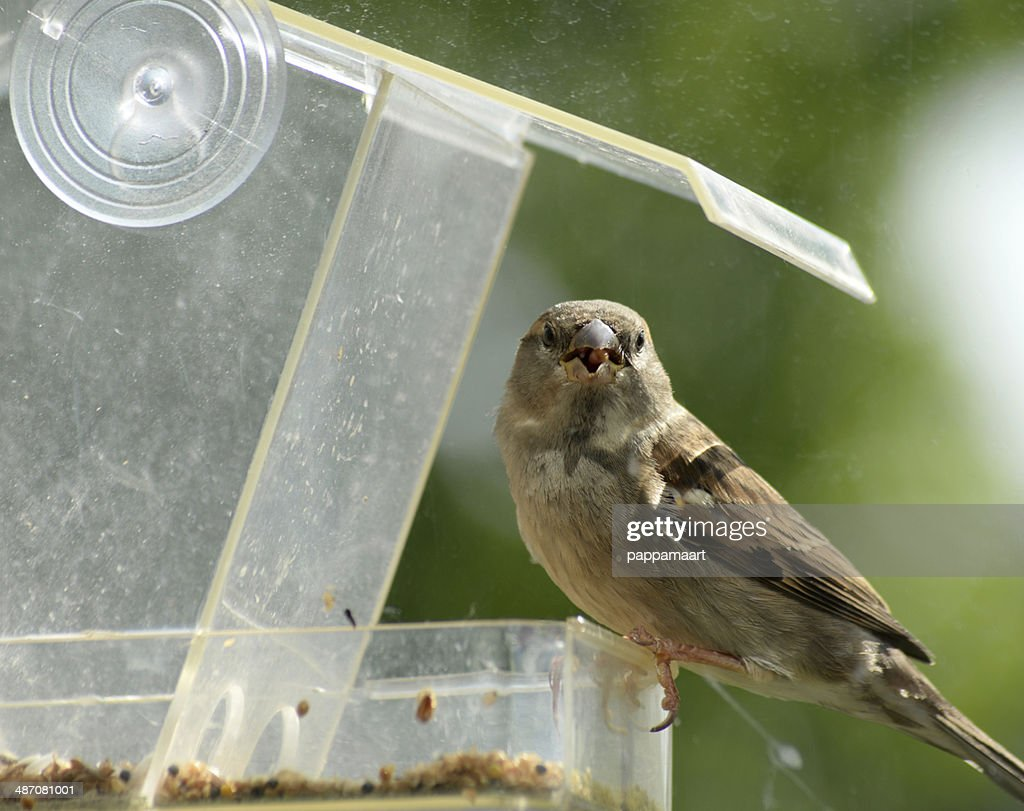 Sparrow looking from feeding house with seed : Stock Photo