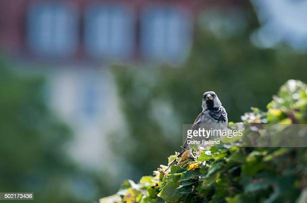 sparrow on a beech hedge - dorte fjalland imagens e fotografias de stock