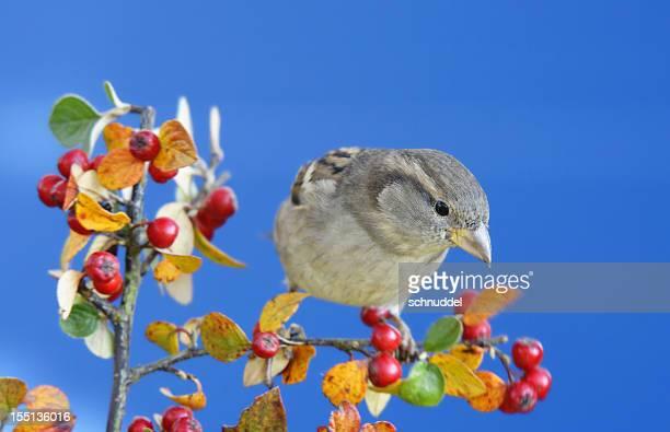 Sparrow on a twig.